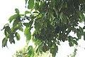 Syzygium samarangense Cham Poo Savey 3zz.jpg