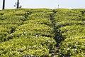 TEA PLANTATIONS.jpg