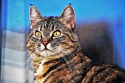Tabby cat-3337027.jpg
