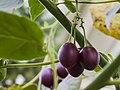 Tamarillo (Solanum betaceum), Jardín Botánico de Múnich, Alemania, 2013-01-27, DD 02.JPG
