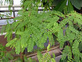 Tamarindus indica (DITSL) - 2.JPG