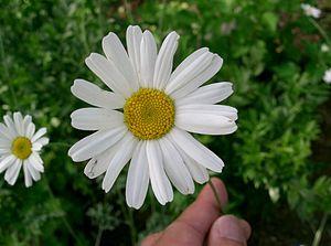 Pyrethrum - Tanacetum cinerariifolium