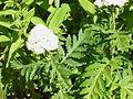 Tanacetum macrophyllum-Stueber4.jpg