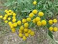 Tanacetum vulgare 32.jpg