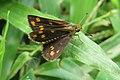 Taractrocera ceramas – Tawny-spotted Grass Dart - Tamil Grass Dart. 10.jpg