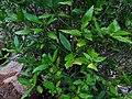 Tarenna asiatica - Asiatic Tarenna 07.jpg