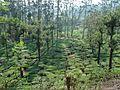 Tea bushes bitherkad tamilnadu - panoramio.jpg