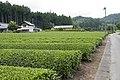 Tea field in Shirosato, Ibaraki 03.jpg