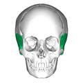 Temporal bone anterior.png