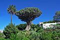 Tenerife - Drago de Icod de los Vinos 06.jpg