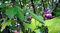 Tenodera sinensis climbing.jpg