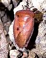 Tessaratoma papillosa adult.jpg