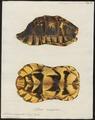 Testudo marginata - schild - 1700-1880 - Print - Iconographia Zoologica - Special Collections University of Amsterdam - UBA01 IZ11600031.tif