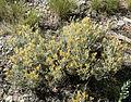 Tetradymia canescens 5.jpg