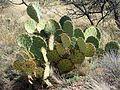 Texas Pricklypear - Flickr - treegrow (2).jpg