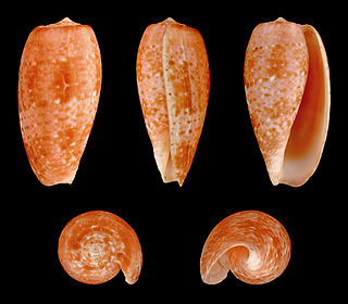 <i>Conus bullatus</i> Species of sea snail