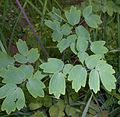 Thalictrum aquilegiifolium 2015-06-20 3411.JPG