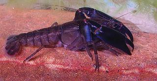 Eastern swamp crayfish species of crustacean