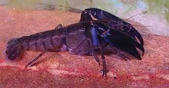 Eastern swamp crayfish - Gramastacus lacus