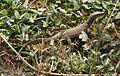 The Bengal monitor (Varanus bengalensis) or Common Indian Monitor at Bharatpur, India. (163).jpg