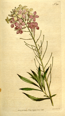 The Botanical Magazine, Plate 195 (Volume 6, 1793).png