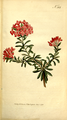 The Botanical Magazine, Plate 313 (Volume 9, 1795).png