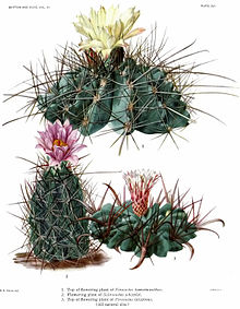 The Cactaceae Vol III, plate XVI filtered.jpg