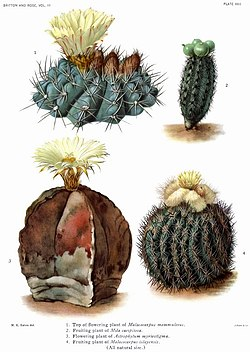 The Cactaceae Vol III, plate XXII filtered.jpg