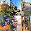 The Chestnut trees are killed by several mushrooms (Pleurotus ostreatus, Chondostereum an Flammulina velutipes. The orange ring shows that they must cutted down. - panoramio.jpg