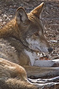 The Endangered Red Wolf By Carole Robertson.jpg