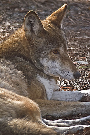St. Vincent National Wildlife Refuge - Endangered red wolf