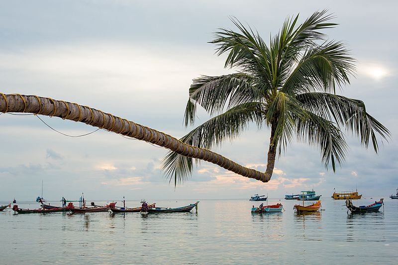 The Extraordinary Coconut Tree in Ko Tao - Chumphon, Thailand, by Piith.hant #14