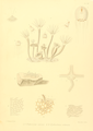 The Monograph of the Gymnoblastic or Tubularian Hydroids. Plate XVI.png