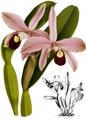 The Orchid Album-02-0039-0060-Laelia perrinii-crop.png