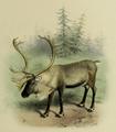 The deer of all lands (1898) Scandinavian reindeer.png