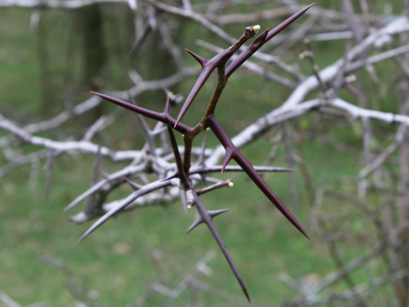 File:Thorns.png