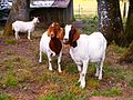 Three Goats (28269957661).jpg