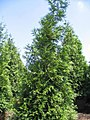 Thuja Green Giant 0zz.jpg