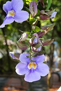 <i>Thunbergia laurifolia</i> species of plant