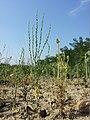 Thymelaea passerina + Adonis aestivalis sl1.jpg