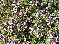 Thymus vulgaris in garden (2018) 5.jpg