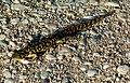 Tiger Salamander (129826485).jpg