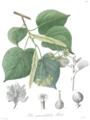 Tilia platyphyllos Scop. (as Tilia grandifolia Ehrh. ex Koch) in Kohl 1895, plate 52.png