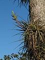 Tillandsia rodrigueziana (TS) 2-06457.jpg