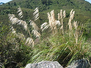 Flora of New Zealand - Toetoe