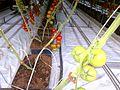 Tomato ARM 10.jpg