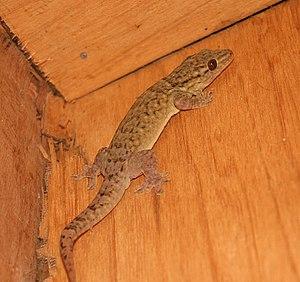 Gehyra oceanica - Image: Tonga gecko 2