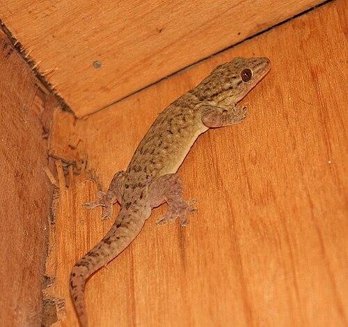 500px tonga gecko 2