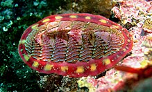 A red and yellow flat-shelled organism facing towards the right