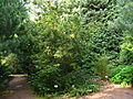Torreya californica PAN tree.JPG